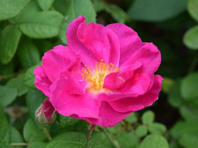 Trädgårdsarkitektens blogg Rosa gallica 'Officinalis – Apotekarros