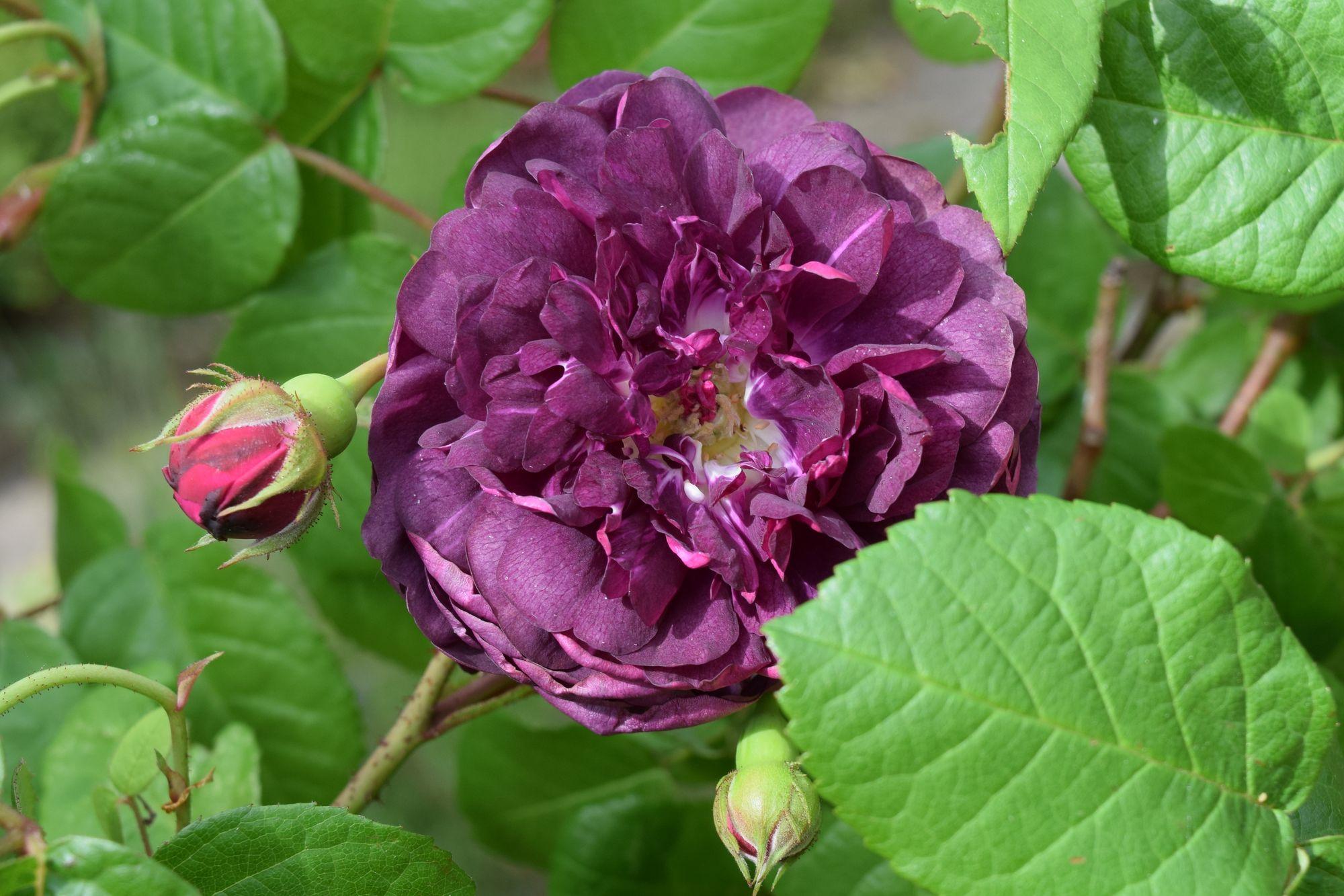 Rosa gallica 'Cardinal de Richelieu'