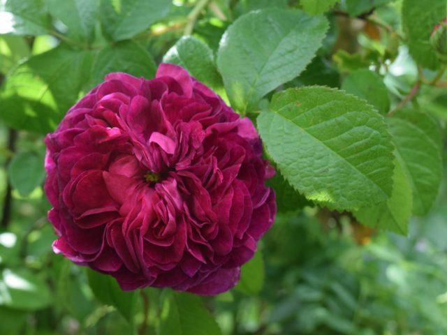 Rosa gallica 'Charles de Mills
