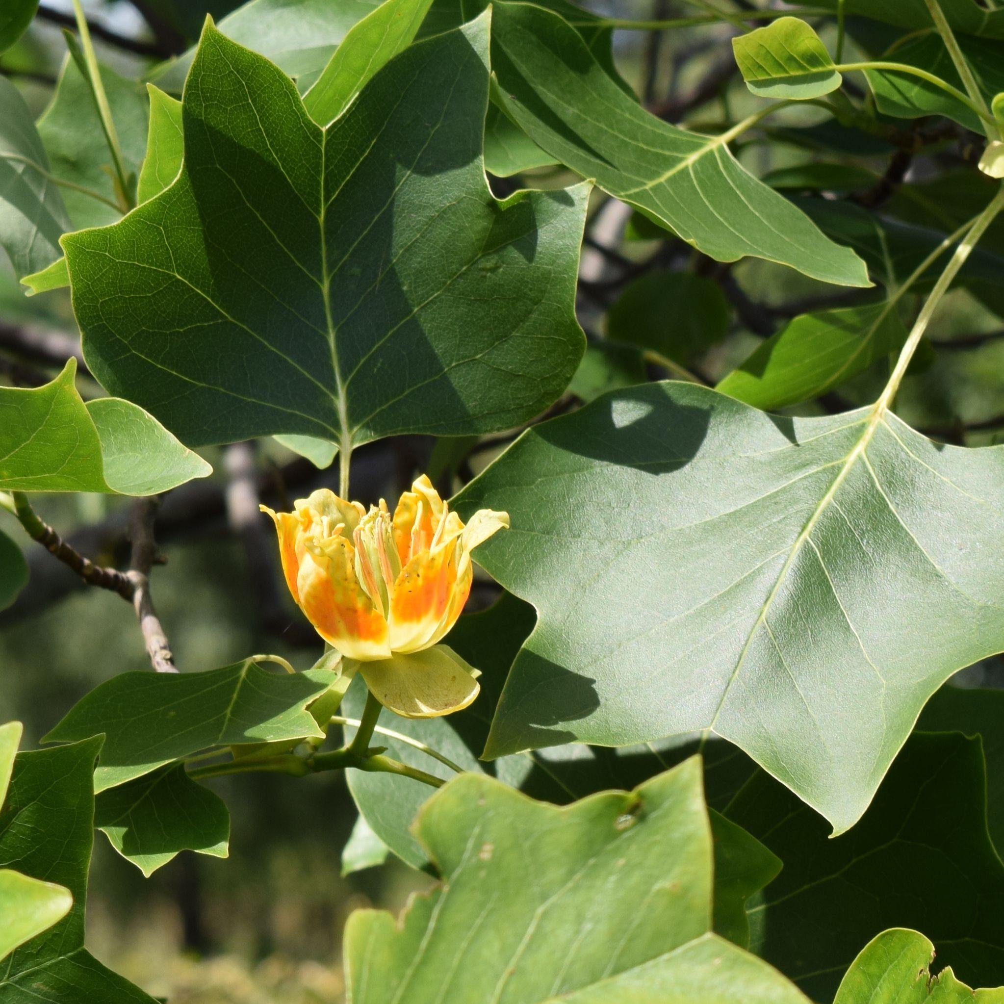 Liriodendron tulipifera, tulpanträd
