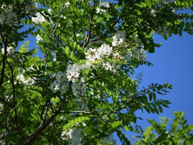 Robinia pseudoacacia, robinia