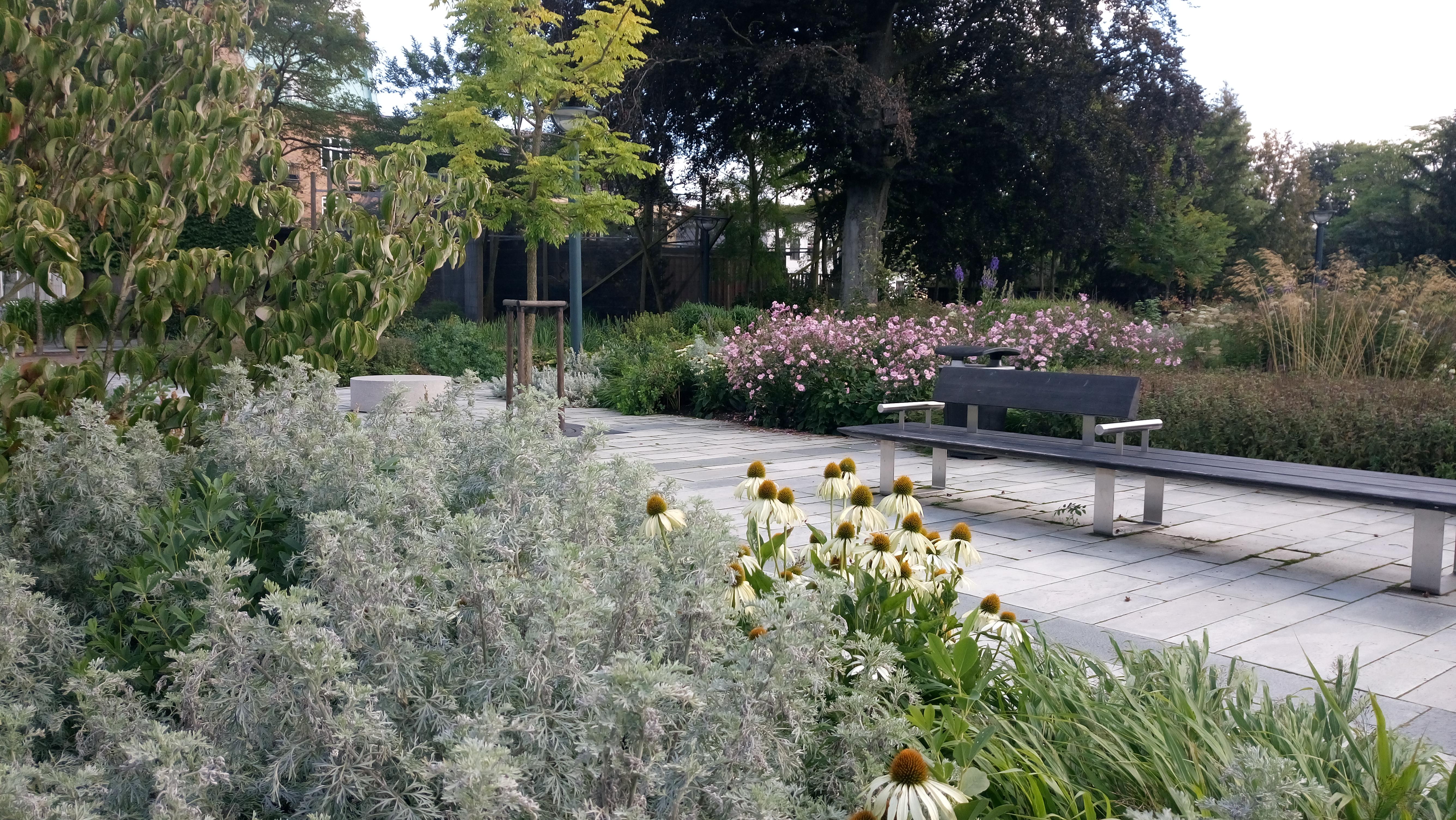 Solens och skuggans trädgård. I förgrunden koreansk blomsterkornell, slottsmalört och vit purpurhatt. Trädet är kentuckykaffeträd och bredvid Höstanemon.