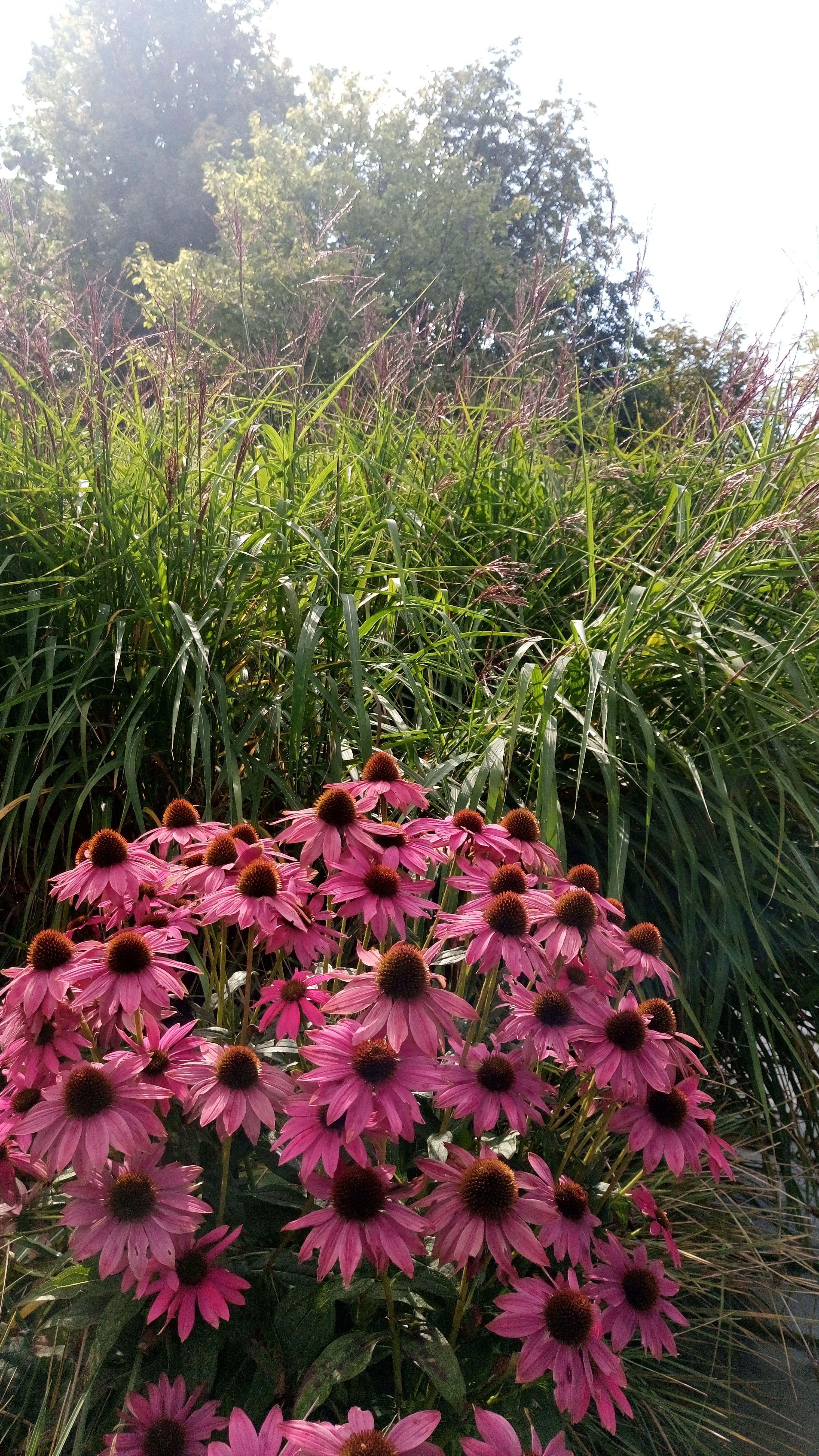 Solens och skuggans trädgård. En fin färgkombination med purpurhatt och japanskt gräs.