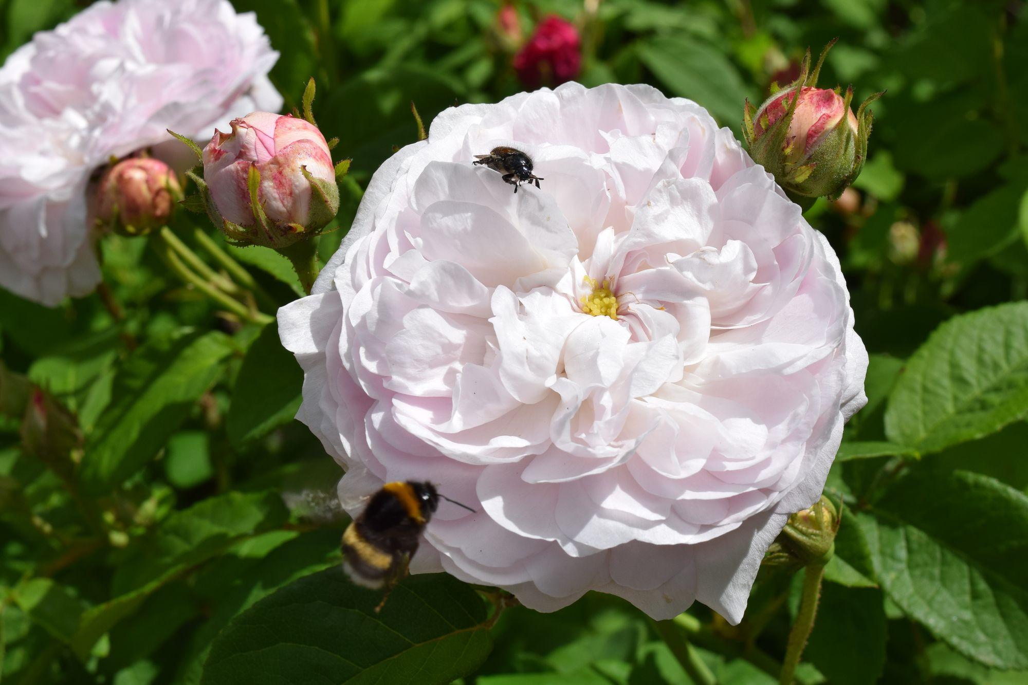 Rosa gallica 'Duchesse de Montebello'