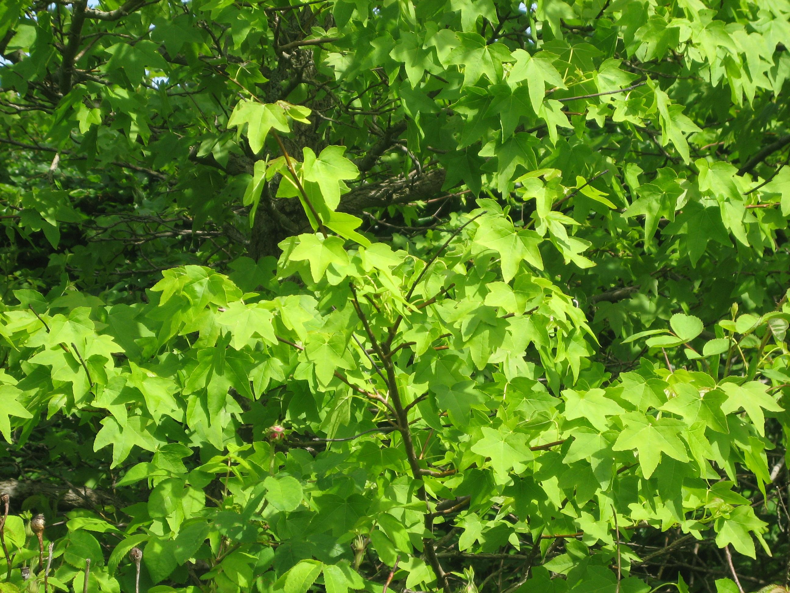 Liquidambar styraciflua, Ambraträd