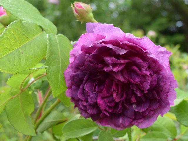 Rosa centifolia 'Tour de Malakoff'