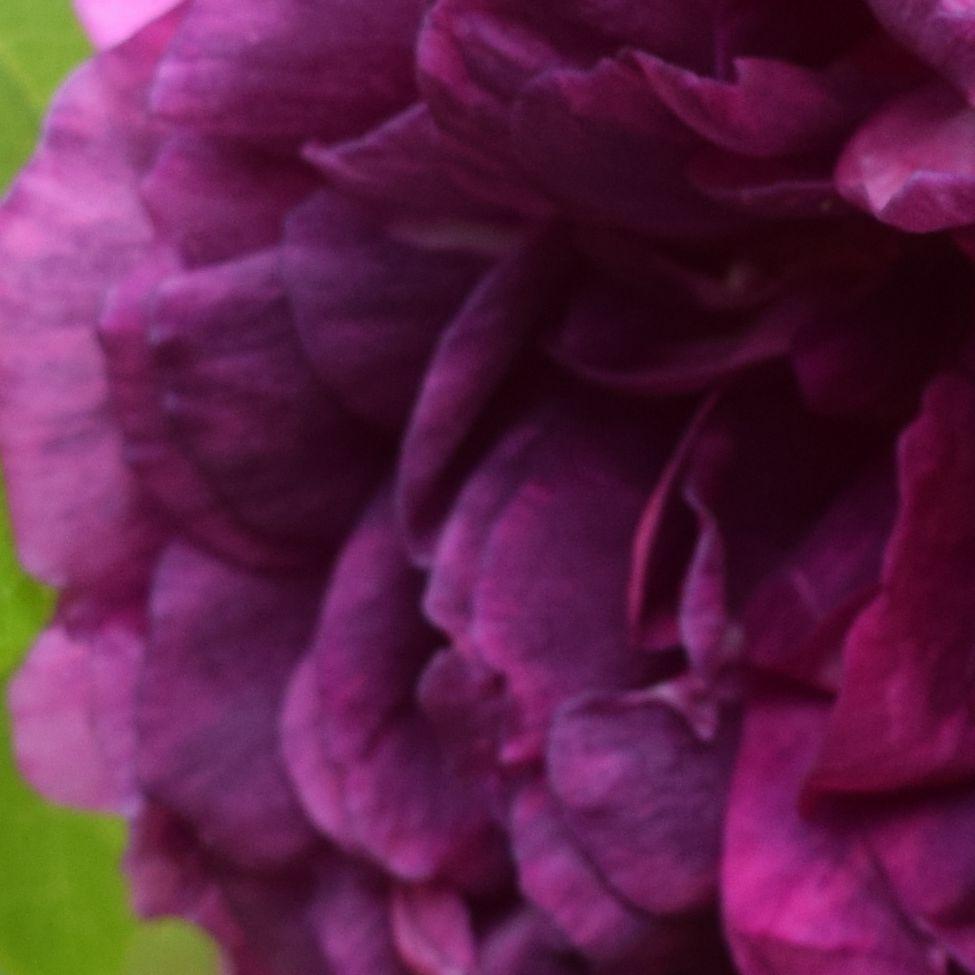 Kronblad av Rosa centifolia 'Tour de Malakoff'