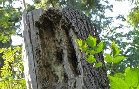 insektshål i stubbe