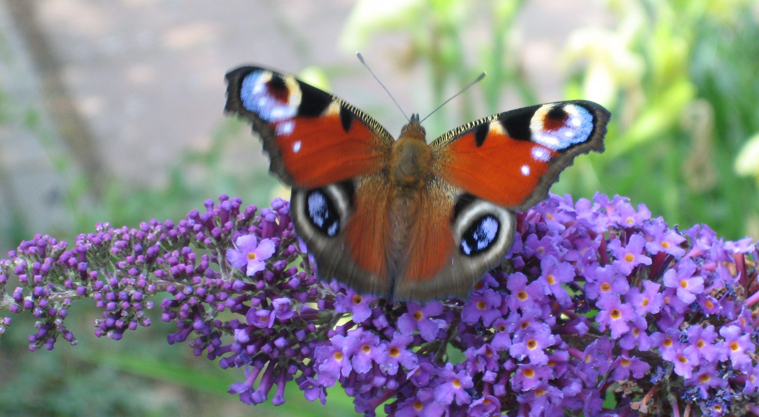 Pollinerare i trädgården, Påfågelöga på syrénbuddleja