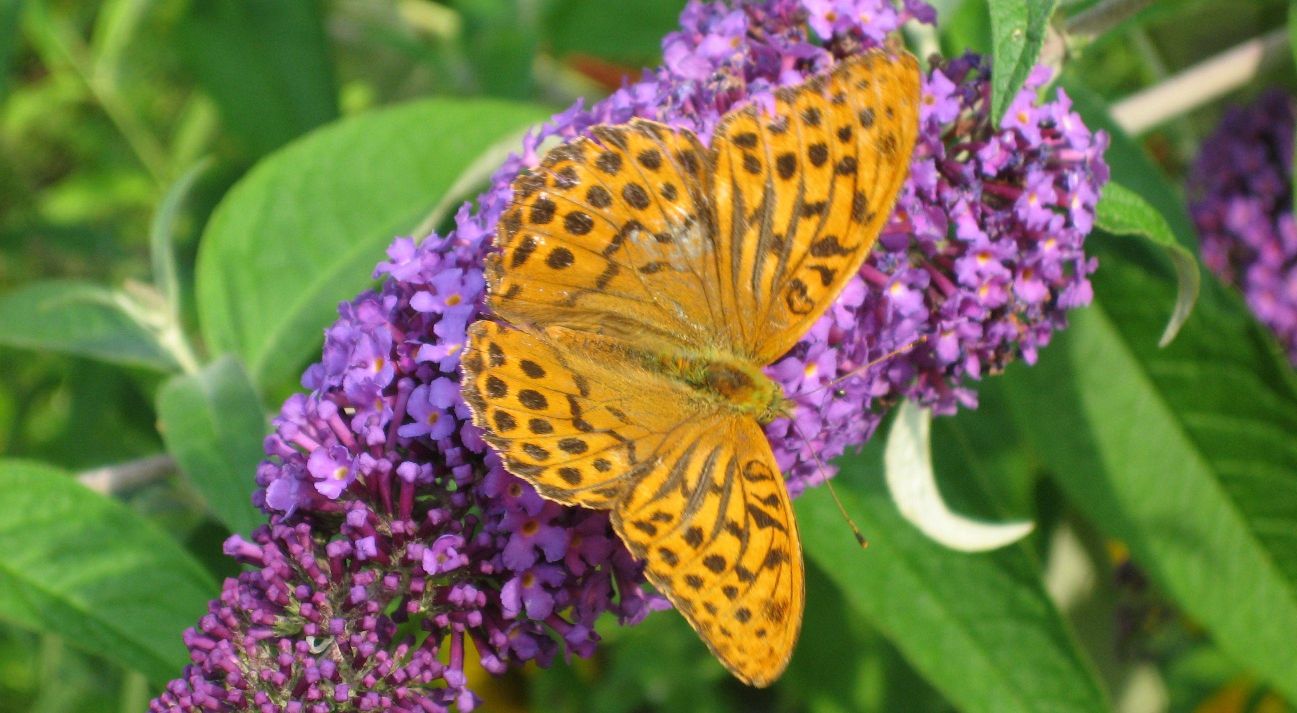 Pollinerare i trädgårdenPärlemorfjäril på syrénbuddleja