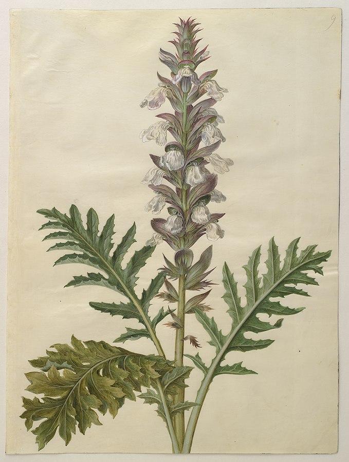 Acanthus mollis - akanthus