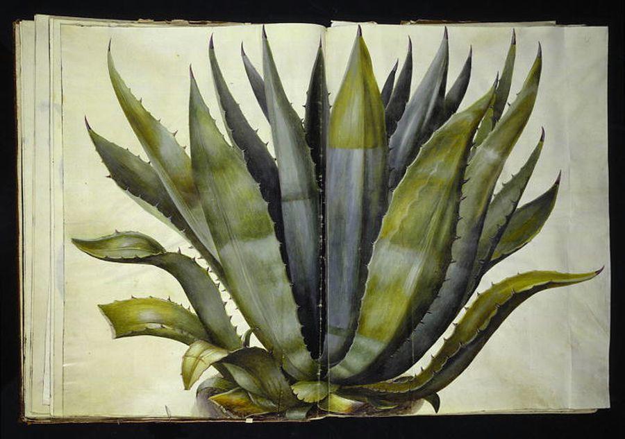 Agave americana - agave