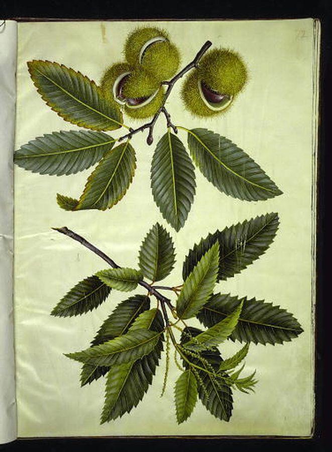 Castanea sativa - kastanj