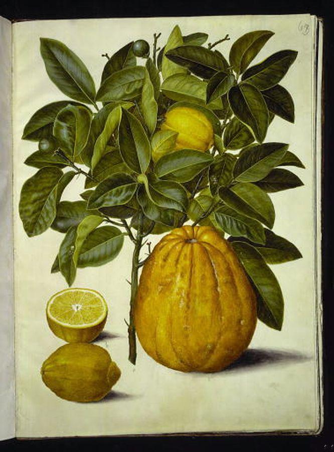 Citrus limon - citron och Citrus maxima - pompelmus