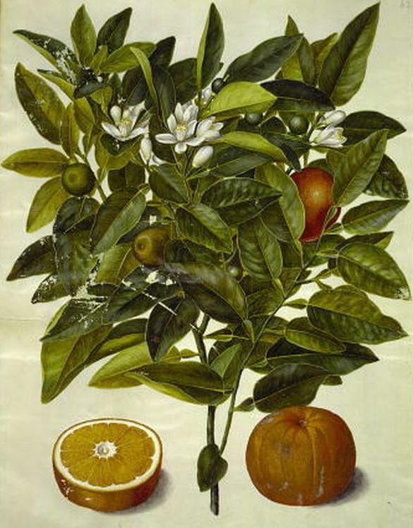 Gottorfer Codexcitrus sinensis