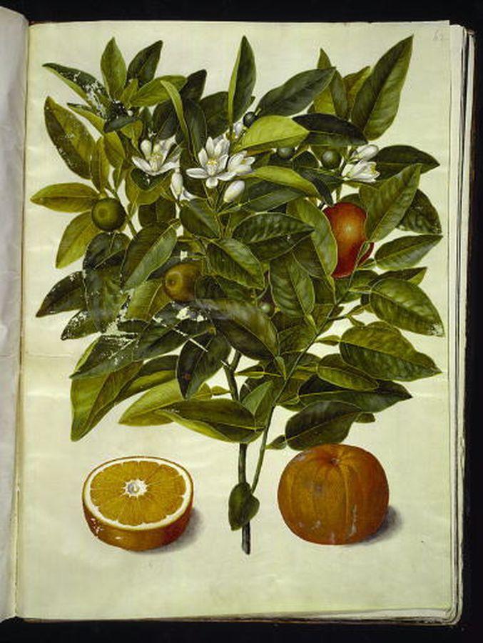Citrus sinensis - apelsin