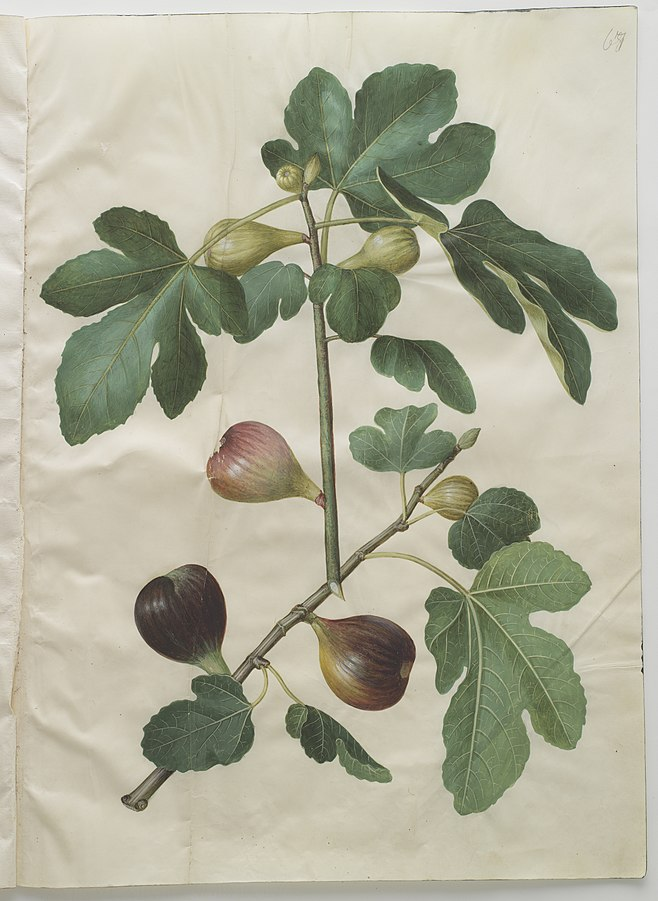 Ficus carica - fikon