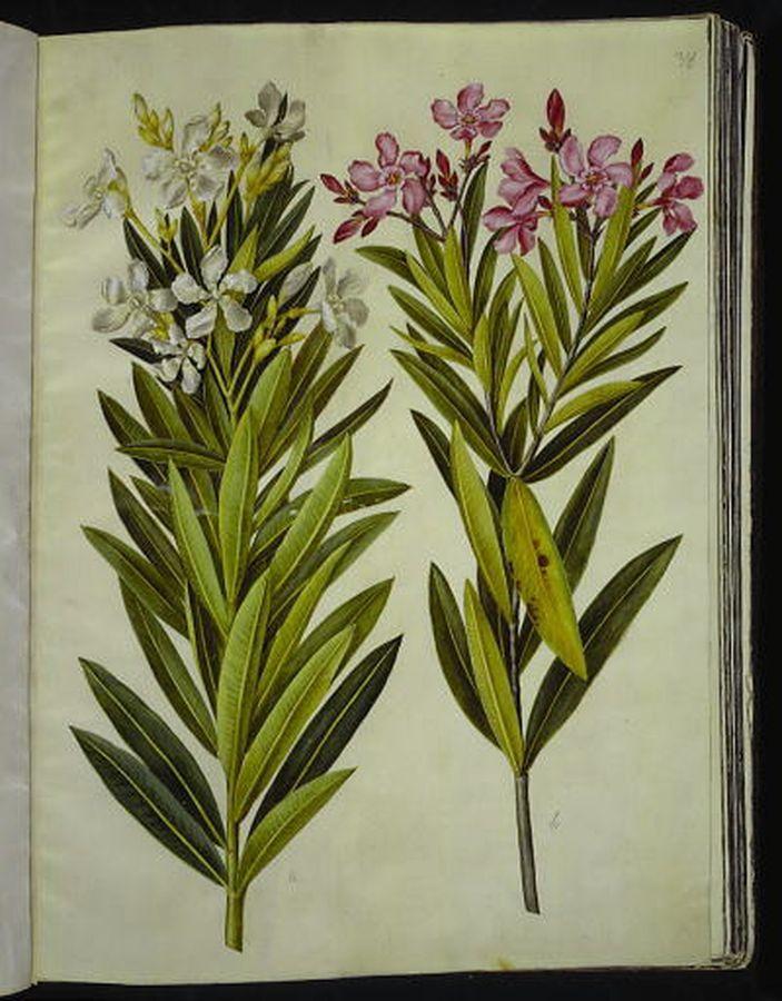 Nerium oleander - nerium