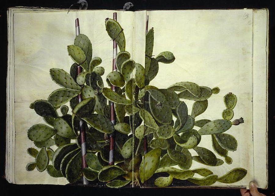 Opuntia ficus-indica - fikonkaktus