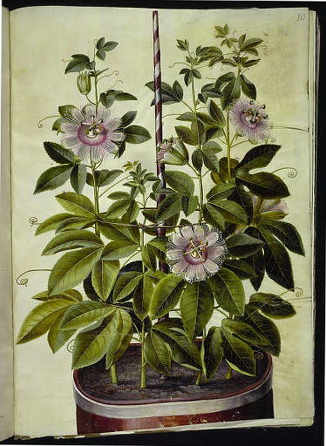 Passiflora incarnata - passionsblomma