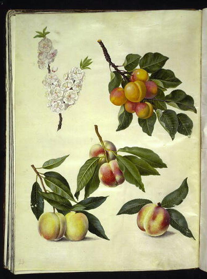 Prunus persica - persika Prunus armeniaca - aprikos
