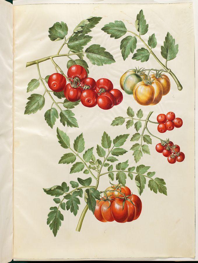 Solanum lycopersicum - tomat