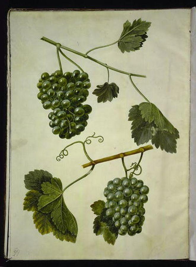 Vitis vinifera - vin