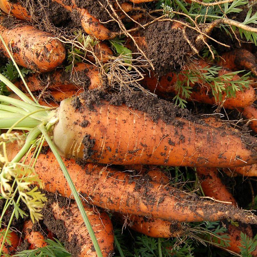 växter och odling, morötter