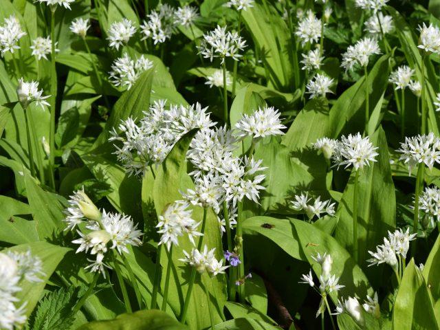 Allium ursinum, Ramslök
