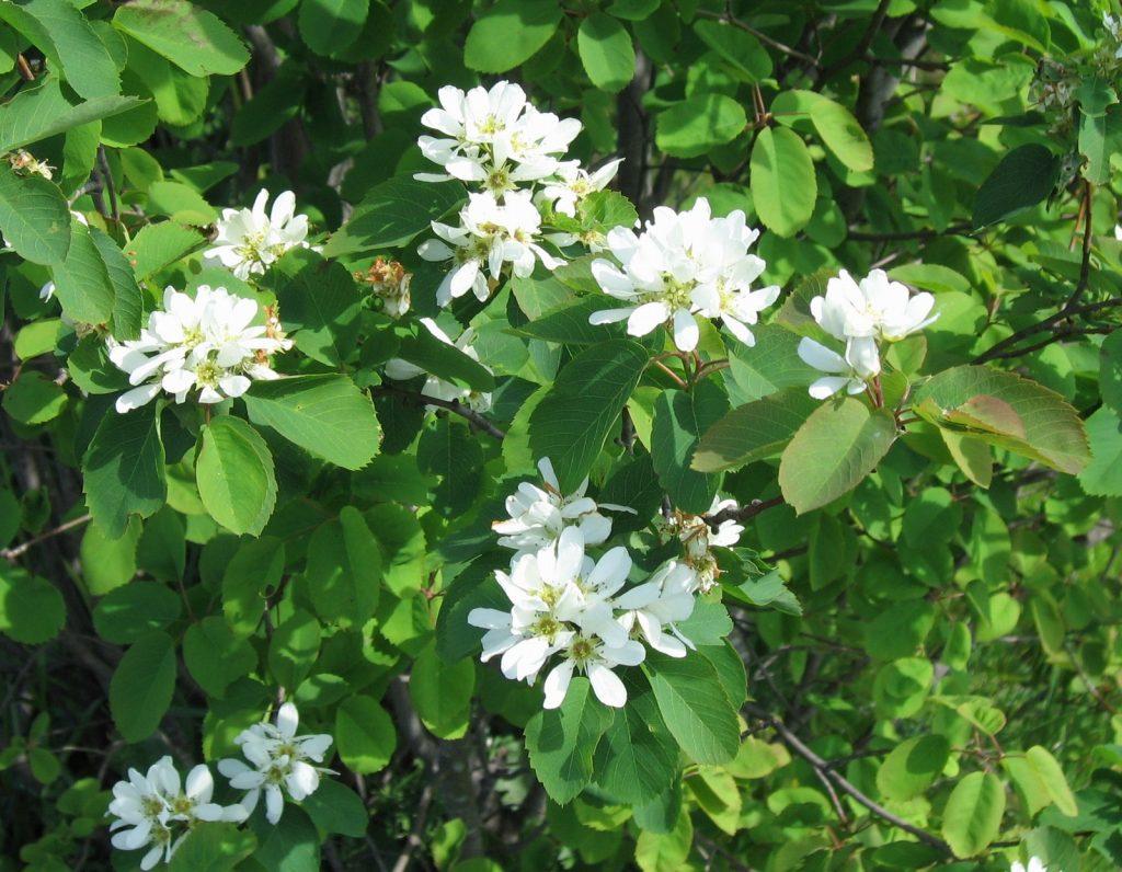 Amelanchier alnifolia, bärhäggmispel