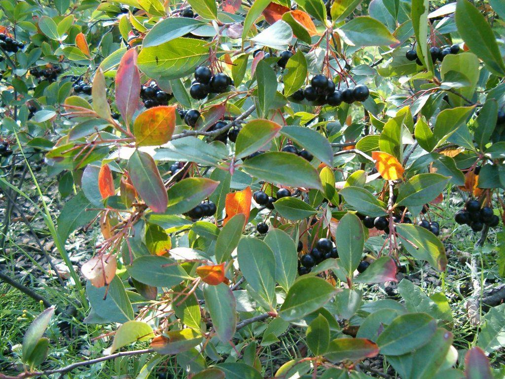 Aronia melanocarpa, svartaronia