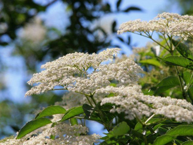Sambucus nigra, fläder