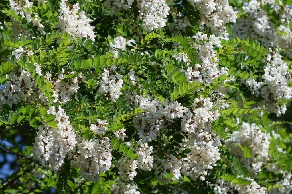 Robinia pseudoacacia, robinia, blommor