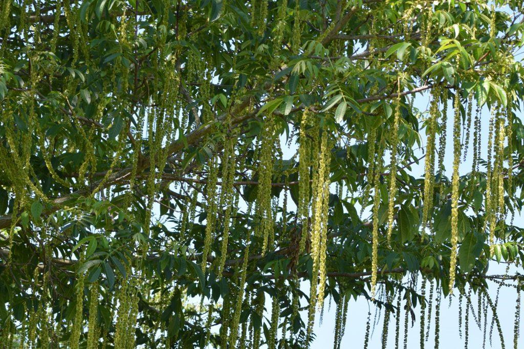 Pterocarya fraxinifolia, kaukasisk vingnöt