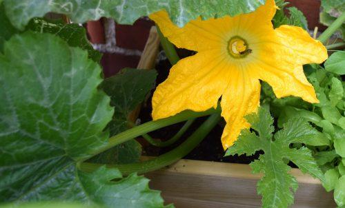 Växter för din trädgård – squash