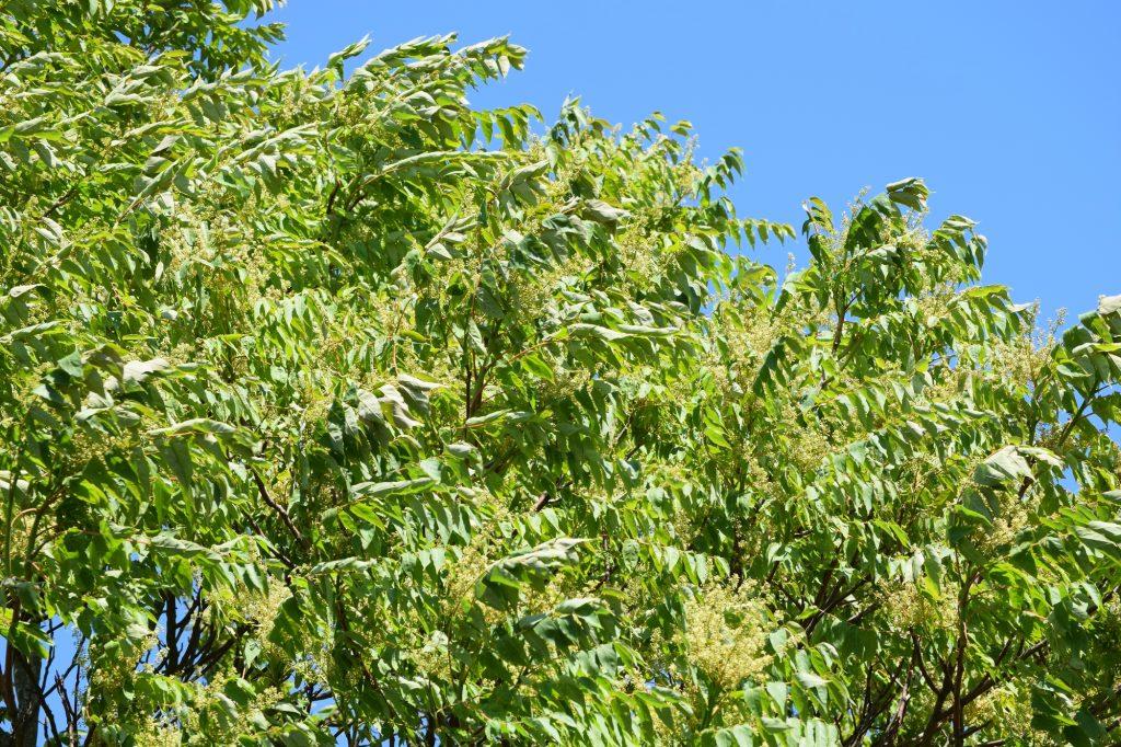 Ailanthus altissima, gudaträd