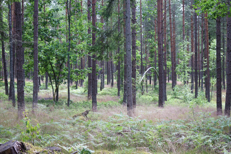 blåbärsskogen