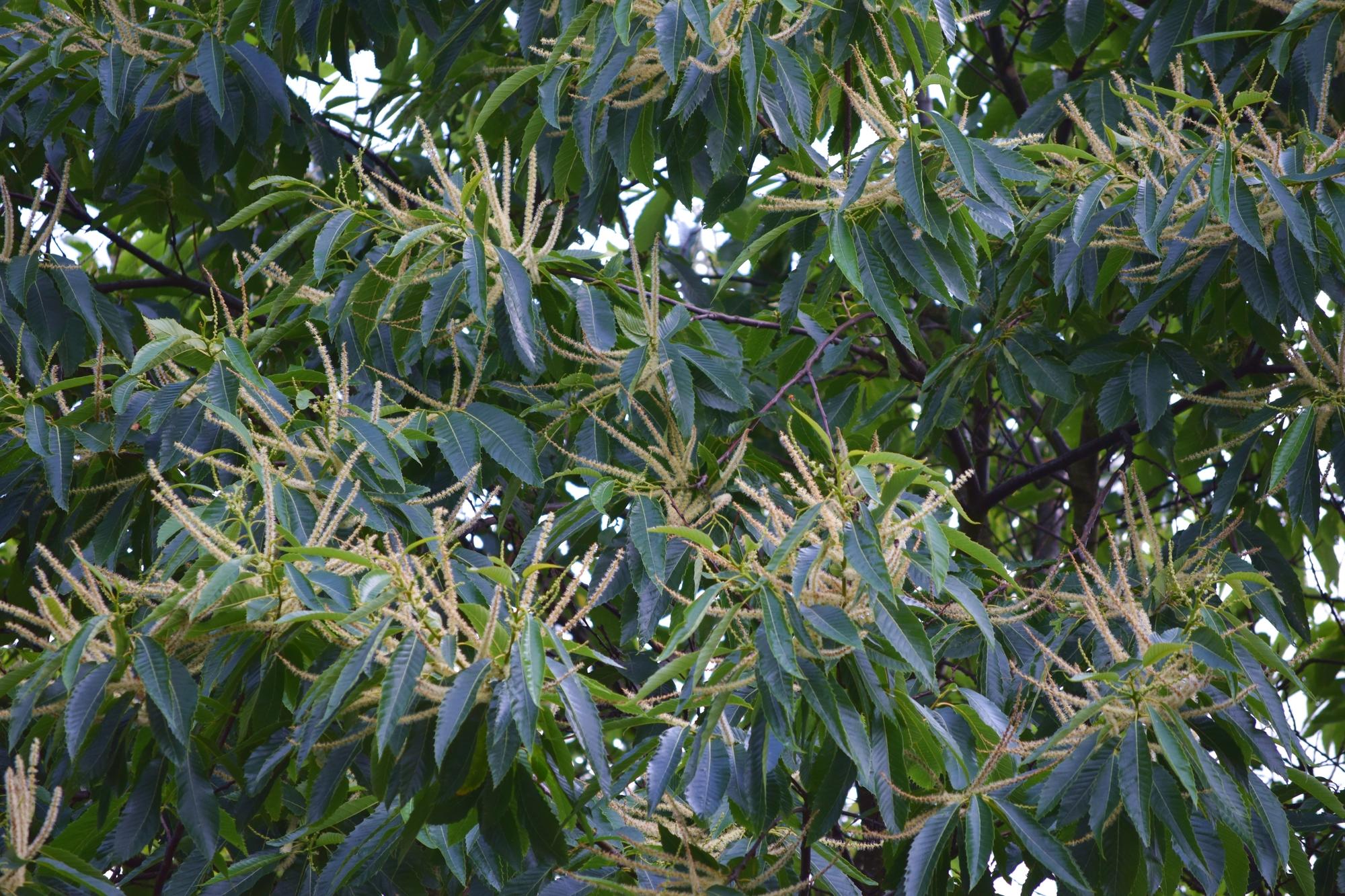 Castanea sativa, äkta kastanj från min trädgård