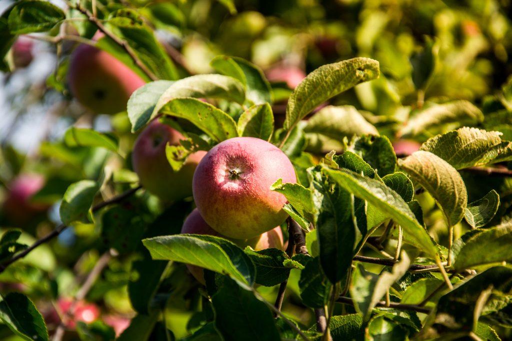 Växter för din trädgård – äpple