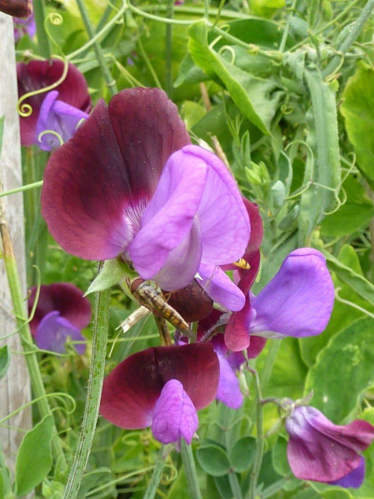 Växter för din trädgård – luktärt