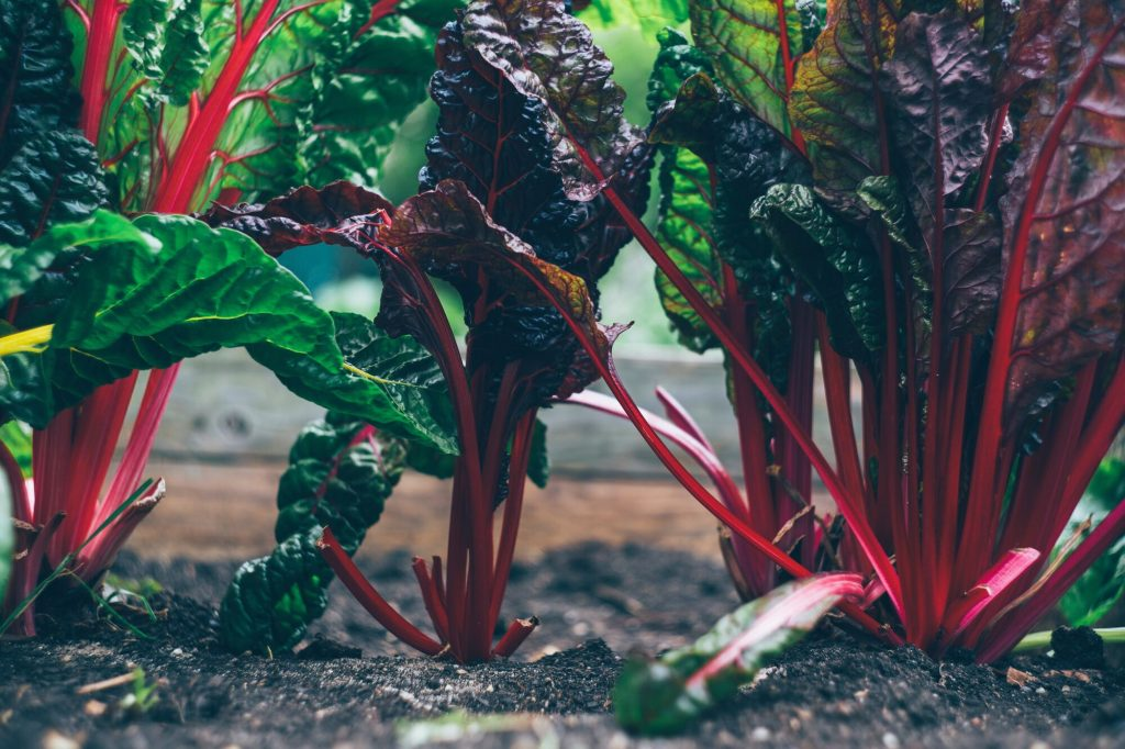 grönsaker mangold